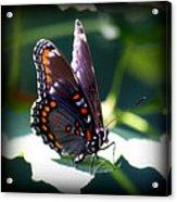 I Butterfly Acrylic Print