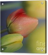 I Do Love Tulips . Acrylic Print