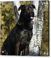 I Have Been Such A Good Dog Acrylic Print