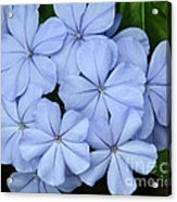 I Love Blue Flowers Acrylic Print