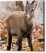 Ibex Pictures 10 Acrylic Print
