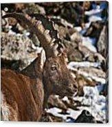 Ibex Pictures 160 Acrylic Print