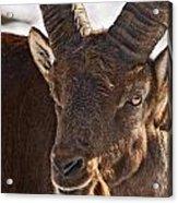 Ibex Pictures 169 Acrylic Print