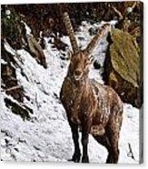 Ibex Pictures 22 Acrylic Print