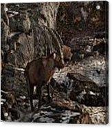 Ibex Pictures 86 Acrylic Print