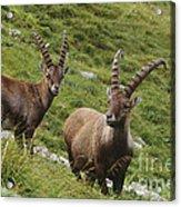 Ibexes Acrylic Print by Art Wolfe