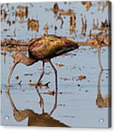 Ibis Feeding On Winter Wetlands Acrylic Print