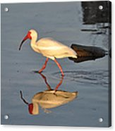Ibis In Reflection Acrylic Print