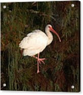 Ibis In The Cypress Acrylic Print