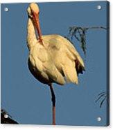 Ibis In The Morning Acrylic Print