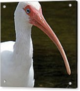 Ibis Portrait Acrylic Print