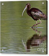Ibis Reflection Acrylic Print