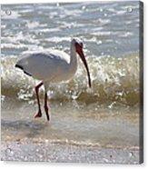 Ibis Walking The Beach Acrylic Print