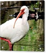Ibis Acrylic Print by Will Boutin Photos