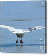 A Gull Performing Ice Ballet Acrylic Print