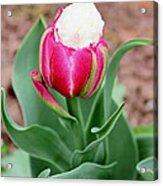 Ice Cream Parrot Tulip Acrylic Print