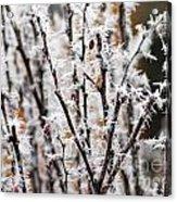 Ice On Thornes Acrylic Print