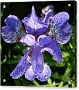 Iced Iris Acrylic Print