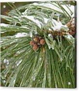 Iced Over Pine Cones Acrylic Print