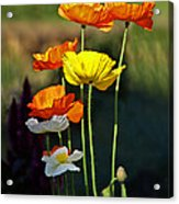 Iceland Poppies In The Sun Acrylic Print