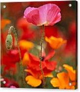 Iceland Poppies Papaver Nudicaule Acrylic Print