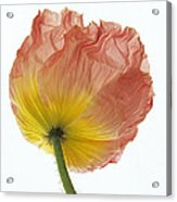 Iceland Poppy 1 Acrylic Print
