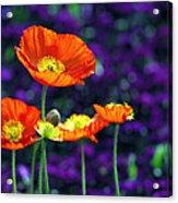 Iceland Poppy Acrylic Print