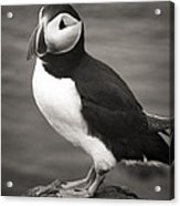 Iceland Puffin Acrylic Print