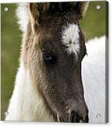 Icelandic Horse Acrylic Print