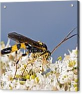 Ichneumon Wasp Feeding On Flowers Acrylic Print