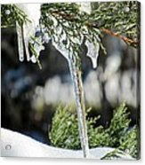Icicles On Juniper Branch Acrylic Print