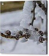 Icy Branch Acrylic Print
