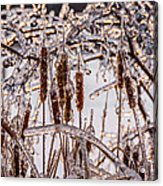 Icy Cattails Acrylic Print