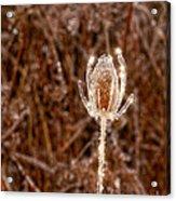 Icy Thistle Acrylic Print