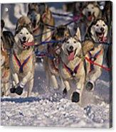Iditarod Huskies Acrylic Print
