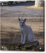 If Cats Could Talk Acrylic Print