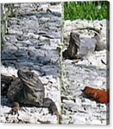 Iguana Bask In The Sun With You Acrylic Print