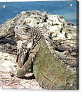 Iguana In The Sun Acrylic Print