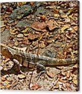 Iguana On A Trail In Manuel Antonio National Preserve-costa Rica Acrylic Print