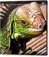 Iguana On The Deck At Mammacitas Acrylic Print
