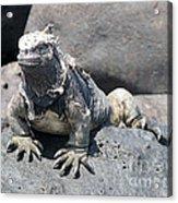 Iguana Or Prehistory Survivor Acrylic Print