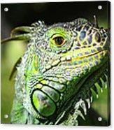 Iguana Smile Acrylic Print