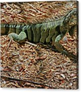 Iguana With A Smile Acrylic Print