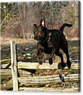 I'll Jump Over Fences For You Acrylic Print