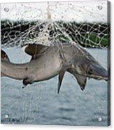 Illegal Gillnet Fishing Academy Bay Acrylic Print