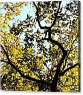 Illuminated Oak Tree Acrylic Print