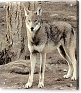 Illusion Of A Wolf Acrylic Print