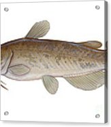 Illustration Of A Brown Bullhead Acrylic Print by Carlyn Iverson