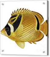 Illustration Of A Raccoon Butterflyfish Acrylic Print by Carlyn Iverson