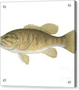 Illustration Of A Smallmouth Bass Acrylic Print by Carlyn Iverson